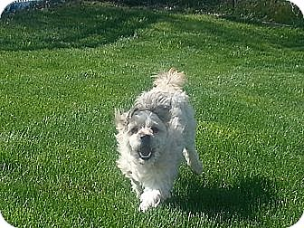 Shih Tzu/Cairn Terrier Mix Dog for adoption in Mt Gretna, Pennsylvania - Marley