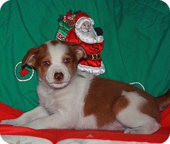 Sheltie, Shetland Sheepdog Mix Puppy for adoption in Atchison, Kansas - Clause