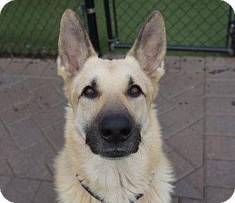 German Shepherd Dog Dog for adoption in Roslyn, New York - Fredy