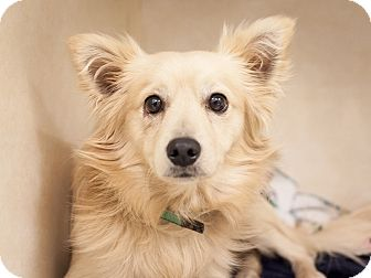 Spitz (Unknown Type, Small) Mix Dog for adoption in Dallas, Texas - Tyrion