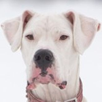 Dogo Argentino Dog for adoption in Carlsbad Springs, Ontario - Cayenne