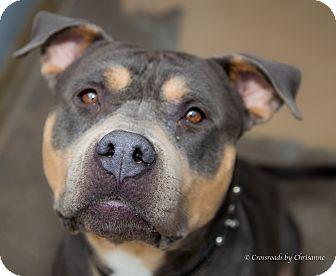 Rottweiler/Terrier (Unknown Type, Medium) Mix Dog for adoption in Sierra Vista, Arizona - Tonka