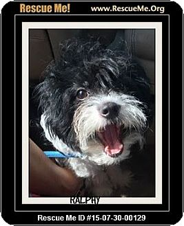 Tibetan Terrier Mix Dog for adoption in Saddle Brook, New Jersey - RALPHY