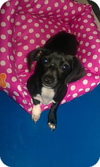 Dachshund Mix Dog for adoption in Newburgh, Indiana - Mickey- Lap Dog