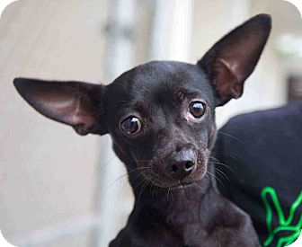 Chihuahua Mix Dog for adoption in Loudonville, New York - Camille