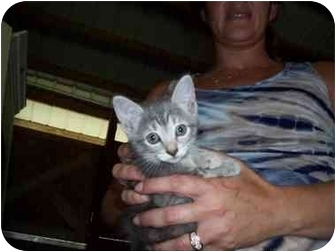 Domestic Shorthair Kitten for adoption in Miami Beach, Florida - Sophie&Ley, FL