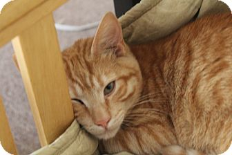 Domestic Shorthair Cat for adoption in Nashville, Tennessee - Little Buddy