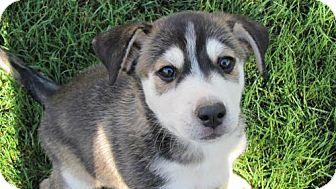 Husky Mix Puppy for adoption in Phoenix, Arizona - Annie