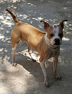 Boxer Mix Dog for adoption in Fort Worth, Texas - Bayley