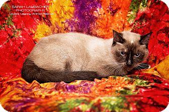 Siamese Cat for adoption in Cincinnati, Ohio - Simone