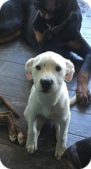 Labrador Retriever/Pit Bull Terrier Mix Puppy for adoption in Dallas, Texas - Dolly