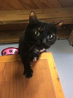 Domestic Mediumhair Cat for adoption in Thibodaux, Louisiana - Kaily Lynn FE2-9325