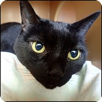 Domestic Shorthair Cat for adoption in Colorado Springs, Colorado - Smokey