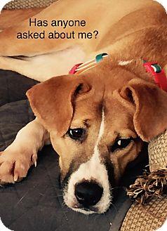 Retriever (Unknown Type)/Hound (Unknown Type) Mix Dog for adoption in Billerica, Massachusetts - Sophie