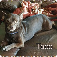 Adopt A Pet :: Taco - Pinellas Park, FL