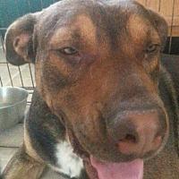 Adopt A Pet :: Bear - Manchester, NH