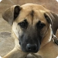 Adopt A Pet :: Storm-Adoption Pending - Dripping Springs, TX