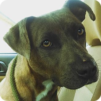 Boxer Mix Dog for adoption in Southbury, Connecticut - Angela ~ meet me!