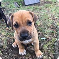 Adopt A Pet :: Smore - Harrison, NY