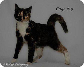 Domestic Shorthair Cat for adoption in Mount Sterling, Kentucky - Fergie