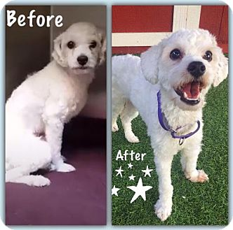 Maltese/Poodle (Miniature) Mix Dog for adoption in Sun Valley, California - Oliver