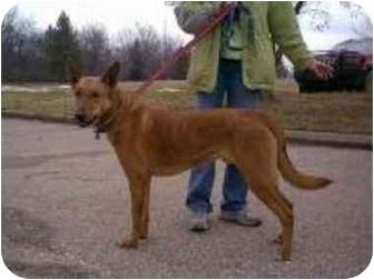 German Shepherd Dog/Retriever (Unknown Type) Mix Dog for adoption in Oxford, Michigan - Ozzy