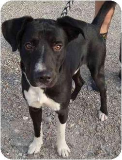 Labrador Retriever Mix Dog for adoption in Arkadelphia, Arkansas - Cody