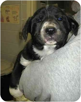 Labrador Retriever/Pit Bull Terrier Mix Puppy for adoption in Florence, Indiana - Paws
