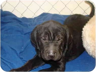 Shar Pei Mix Puppy for adoption in Vandalia, Illinois - Remington