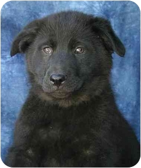 Labrador Retriever/Chow Chow Mix Puppy for adoption in Ladysmith, Wisconsin - D0744