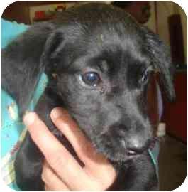 Labrador Retriever Mix Puppy for adoption in Old Bridge, New Jersey - Damsel