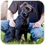 Photo 2 - Labrador Retriever/Chihuahua Mix Dog for adoption in West Richland, Washington - Dutch