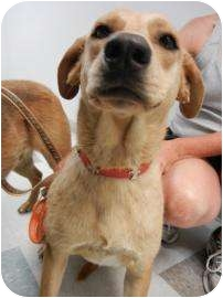 Labrador Retriever Mix Dog for adoption in Oklahoma City, Oklahoma - Frisbee