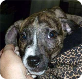 American Staffordshire Terrier Mix Puppy for adoption in Troy, Michigan - Bernie