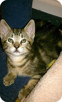 Domestic Shorthair Kitten for adoption in North Plainfield, New Jersey - Jack