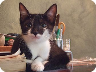 Domestic Shorthair Kitten for adoption in Atlanta, Georgia - Raine