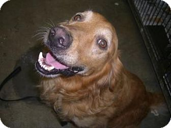 Golden Retriever Dog for adoption in BIRMINGHAM, Alabama - Dallas