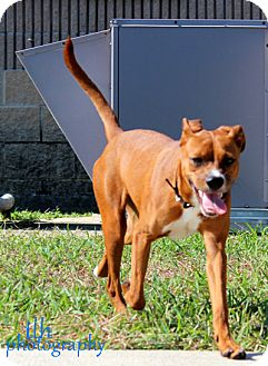 Boxer Mix Dog for adoption in Corpus Christi, Texas - Lily