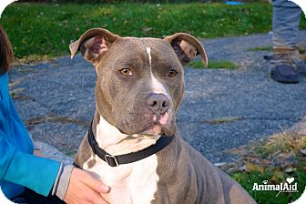 Pit Bull Terrier Mix Dog for adoption in Rochester Hills, Michigan - Melanie