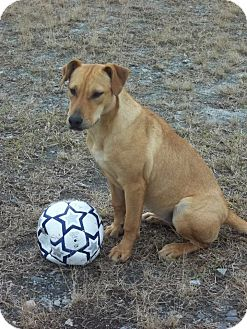 Doberman Pinscher/American Pit Bull Terrier Mix Puppy for adoption in Fort Valley, Georgia - Fancy