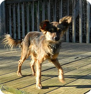 Yorkie, Yorkshire Terrier/Papillon Mix Dog for adoption in Portland, Maine - Lucy
