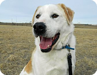 Great Pyrenees/Labrador Retriever Mix Dog for adoption in Cheyenne, Wyoming - Snoopy