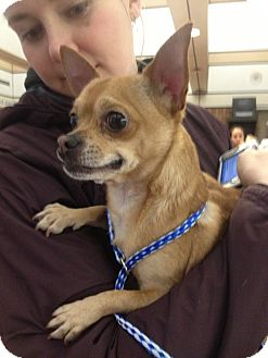 Chihuahua Mix Dog for adoption in Chicago, Illinois - Chunk