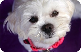 Maltese/Lhasa Apso Mix Dog for adoption in Mission Viejo, California - MARIE