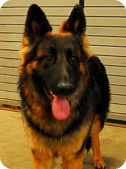 German Shepherd Dog Dog for adoption in Detroit, Michigan - Lyra-Adopted!