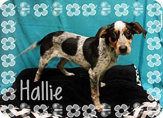 Treeing Walker Coonhound/Bluetick Coonhound Mix Puppy for adoption in Ogden, Utah - Hallie