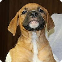 Adopt A Pet :: Buster - Burr Ridge, IL
