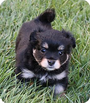 Pomeranian/King Charles Spaniel Mix Puppy for adoption in La Habra Heights, California - Inky