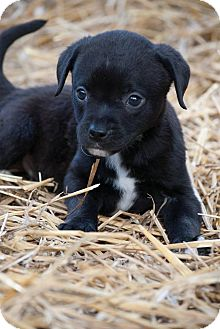 Labrador Retriever Mix Puppy for adoption in Salem, Massachusetts - Dexter