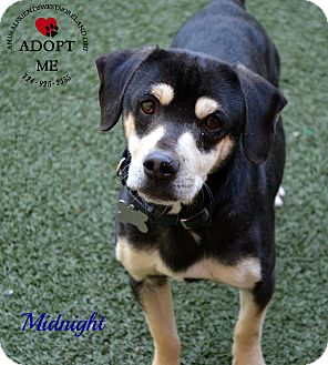 Beagle Mix Dog for adoption in Youngwood, Pennsylvania - Midnight